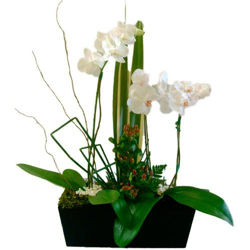 Danza de orquídeas