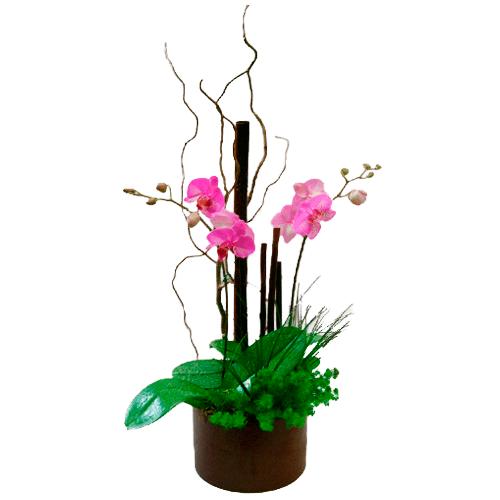 Hermosa Phalaenopsis