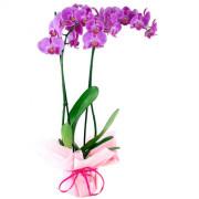 phalaenopsis doble