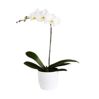 orquidea blanca en base