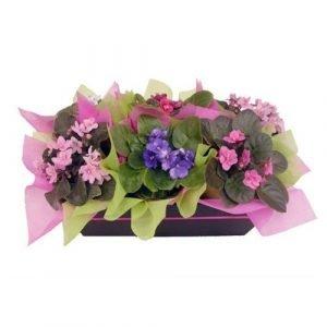 violetas en cja